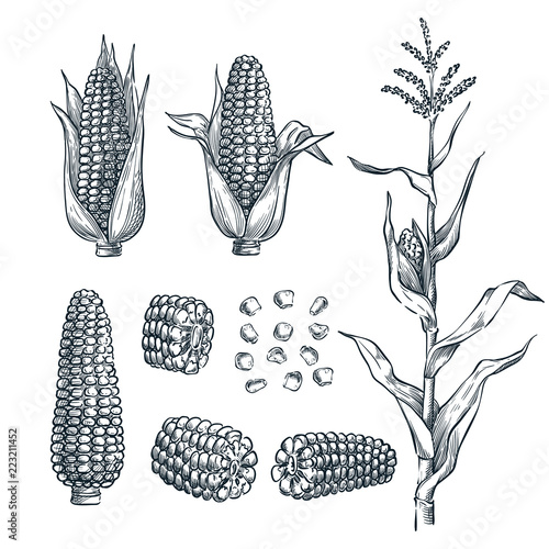 Fotografiet Corn cobs, grain, vector sketch illustration
