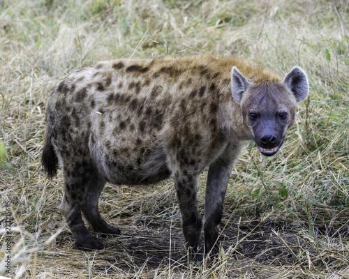 Tuinposter Hyena Hyena - Wildlofe of The Great Lumpopo Transfrontier Park
