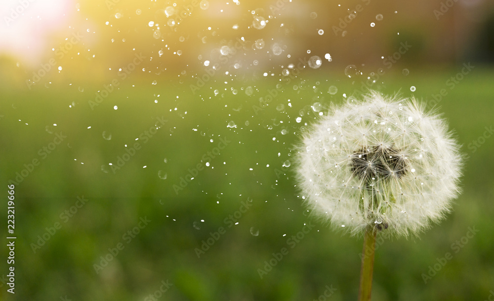 Fototapety, obrazy: Dandelion on a green sunny meadow. Sunlight.