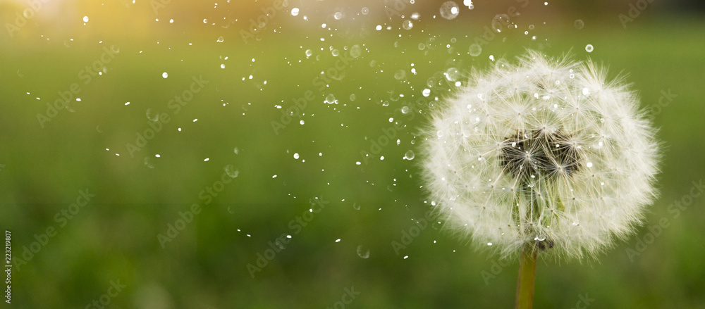 Fototapety, obrazy: Dandelion on a green sunny meadow. Sunlight.