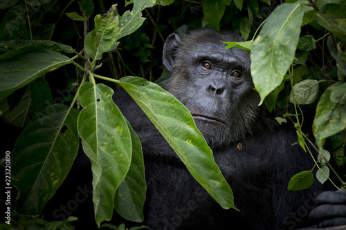Gorilla hide and look straight behind tree.