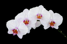 White And Pink Orchid On Black Background
