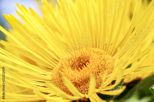 Flower of Elecampane (Inula Helenium), a medicinal herb used for the treatment o Canvas Print