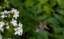 Hawk Moth Collects Pollen From...
