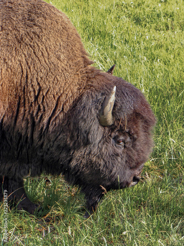 Close up of the head of a brown bison walking in the green grass