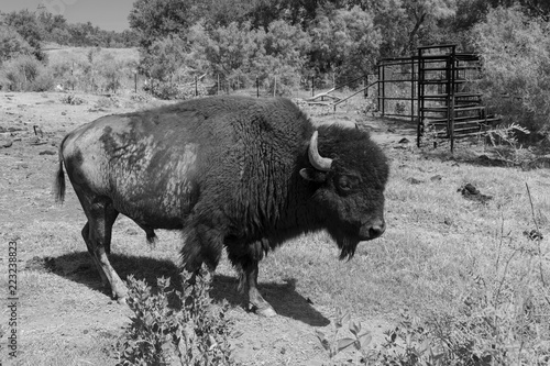 Staande foto Buffel Black and white profile of American Bison or Buffalo
