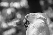 Closeup Of White Cockatoo Biti...