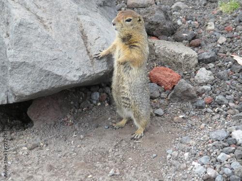 Foto op Canvas Eekhoorn Камчатский грызун Евражка