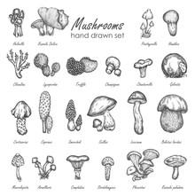 Mushroom Hand Drawn Sketch Vector Illustration. Mushrooms Vector Set Truffle, Chanterelle, Champignon, Enokitake Vintage Food Collection