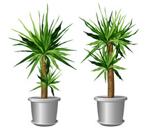 Two Yucca Plants In Pots (Yucc...