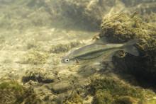 Freshwater Fish Riffle Minnow (Alburnoides Bipunctatus) Underwater Photography. Minnow In Clean Water And Nature Habitat. Natural Light. Lake And River Habitat. Wild Animal. Underwater Photo Of Fish.