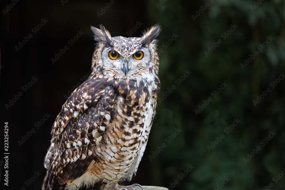 A close up of a european eagle owl perched on a post and staring forward. Taken against a dark background the eyes are penetrating the viewer