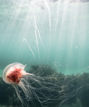 Lionsmane Jellyfish