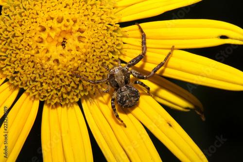 Foto  ragno predatore bruno (Xysticus sp.) in agguato su una margherita