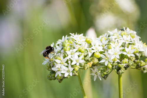 Honeybee on blossoming alluvium in a field Wallpaper Mural