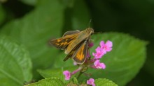 Skipper Butterflies On Lantana Flowers Two Shots