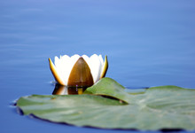 A Flower Of A White Water Lily With Delicate Petals And Large Green Leaves On The Surface Of A Calm Dark Forest Lake
