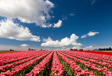 Red And Pink Tulips Blooming I...