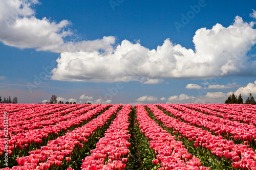 Pink tulips blooming in a field in Mount Vernon, Washington