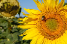 Bumblebee On A Sunflower, France