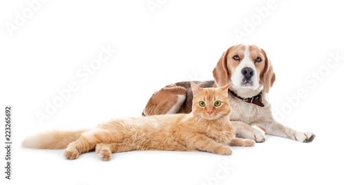 Fototapeta Cute cat and dog together on white background. Best friends obraz