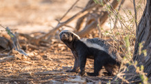 Portrait Of A Badger, Kgalagadi Transfrontier Park, South Africa