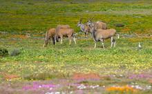 Herd Of Eland Grazing, West Co...