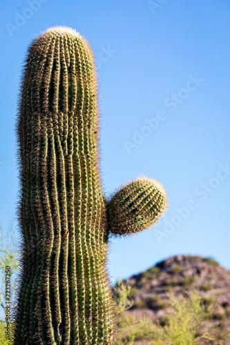 Tuinposter Cactus Short sonoran desert cactus in the desert