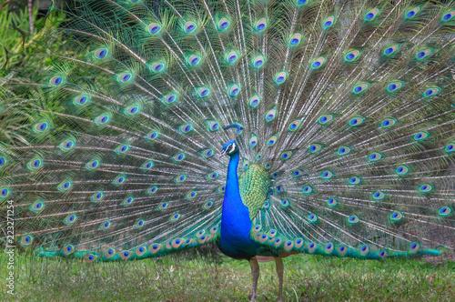 Fotobehang Pauw Peacock displaying feathers
