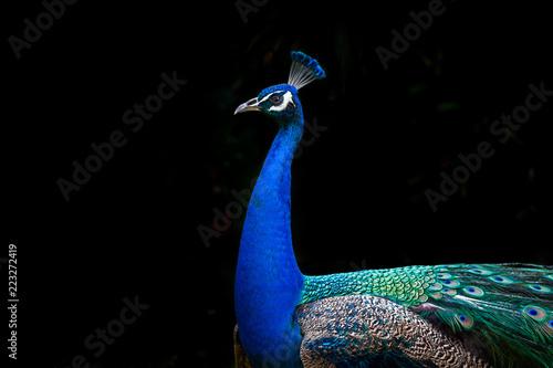 Foto op Aluminium Pauw Peacock profile isolated on black background