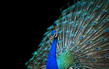 Peacock Isolated On Black Back...