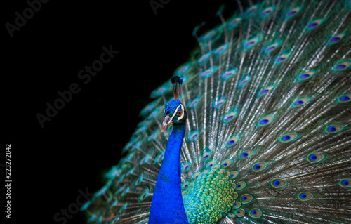 Peacock isolated on black background