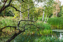 The Branch Of A Birch Bent Ove...