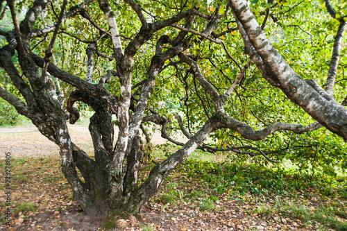 Karelian birch (Betula pendula var. carelica). Beautiful tree. Landscape. Late summer. Early autumn