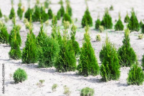 Garden shop. A row of fir-trees offered for sale