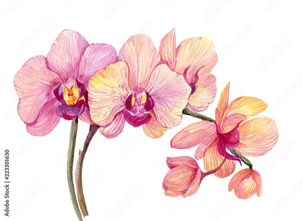 Fototapety, obrazy: Branch pink Orchid. Watercolor hand painting. Isolated flower on white background