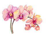Fototapeta Storczyk - Branch pink Orchid. Watercolor hand painting. Isolated flower on white background