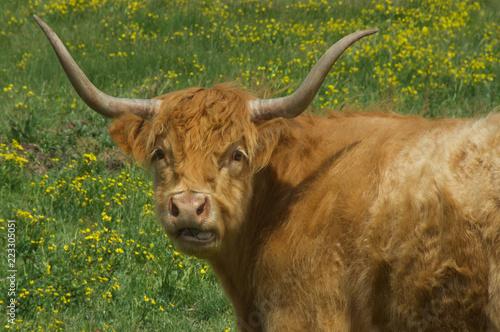Fotografie, Obraz  Young Texas Longhorn