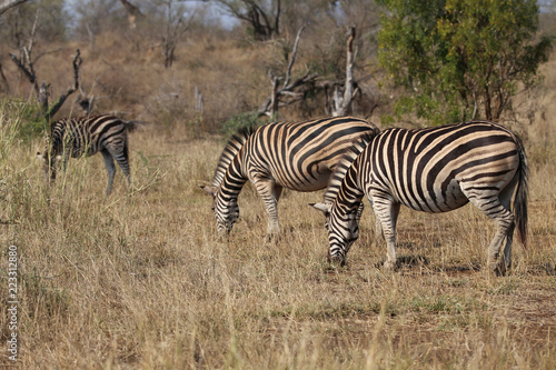 Tuinposter Zebra Zebras im Kruger-Nationalpark in Südafrika