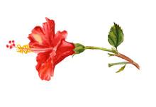 Watercolor Flower Of Red Hibis...