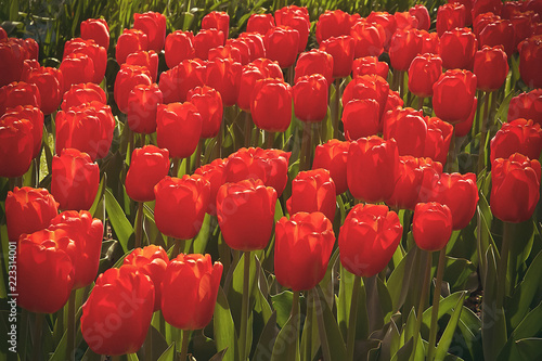 Field of red tulips in flower garden, beautiful springtime background