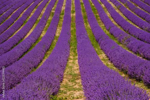 Foto op Aluminium Snoeien Lignes de lavande sur le champ. Provence, Plateau d'Albion.