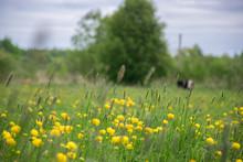Yellow Flower Field Of Dandelions