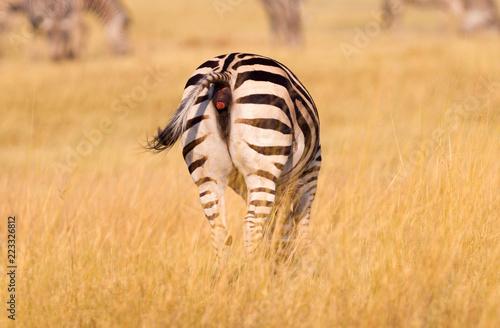 Tuinposter Zebra Zebra in the grassy nature, evening sun