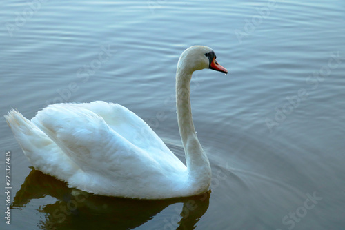 Close up of white swan swim in water scene