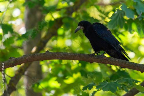 Black bird Raven or Black Crow or corvus corax. Raven in city garden. Crow is looking for food