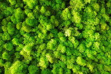 Green Yellow Decorative Moss B...