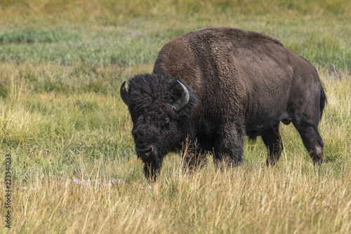 Spoed Foto op Canvas Bison bison in Yellowstone Nationale Park in Wyoming