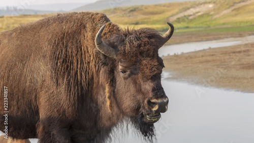 Spoed Foto op Canvas Bison hayden valley