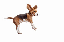 Front View Of Cute Beagle Dog Jumping Isolated On A White Studio Background
